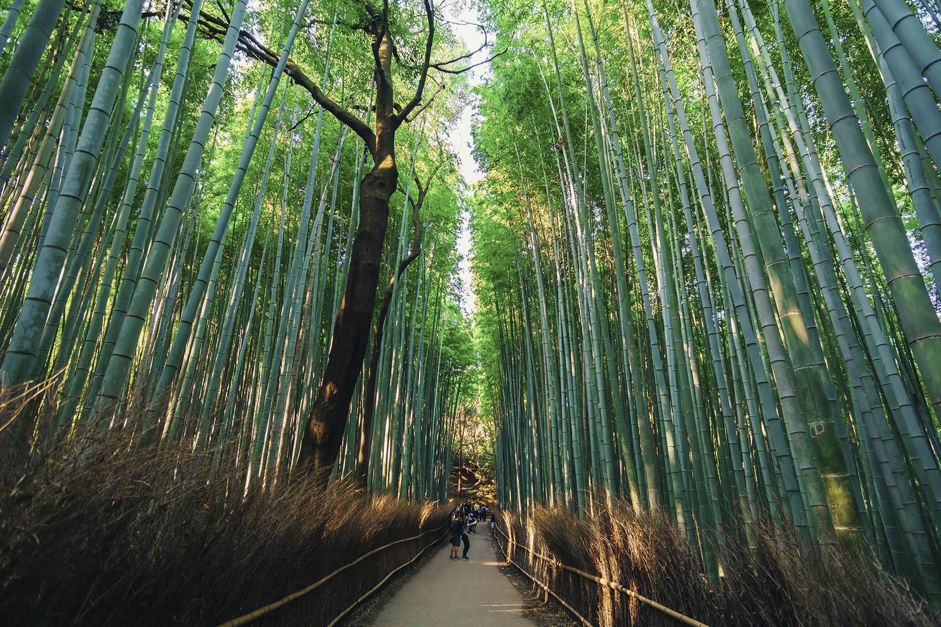 bosc bambu kyoto, japó